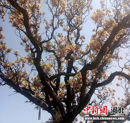 文冠果树花开正艳。 胡艳凤 摄