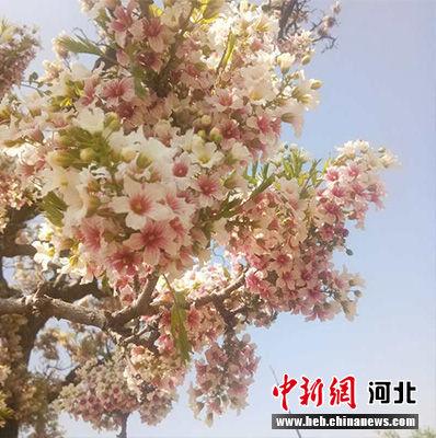 艳丽的文冠果树花。 胡艳凤 摄