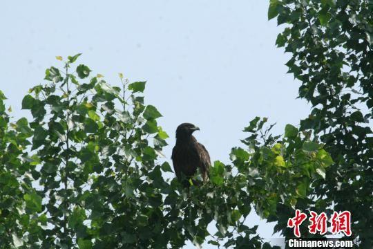 图为类似金雕的国家级保护鸟类。安新县委宣传部提供