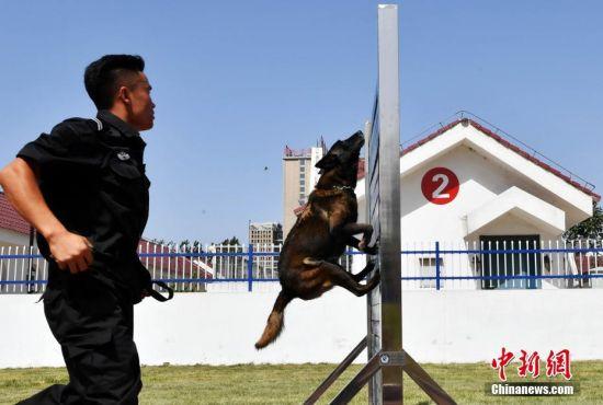 6月5日,在河北省公安厅警犬基地举办的该省警犬实战模拟演练暨第三届全省警犬技术比赛拉开帷幕,共计56名训导员携56只警犬参加了比赛。中新社记者 翟羽佳 摄