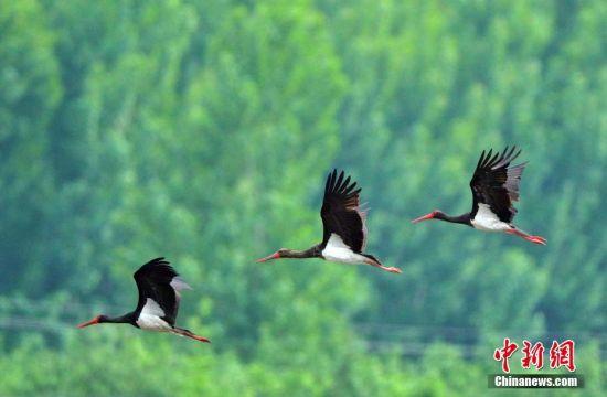 7月1日,河北石家庄平山岗南水库下游滹沱河段发现成群黑鹳,最多时达12只,黑鹳是大型涉禽,属国家一级保护动物,也是世界濒危珍禽,已被《濒危野生动植物国际贸易公约》列为濒危物种。中新社发 于英杰 摄