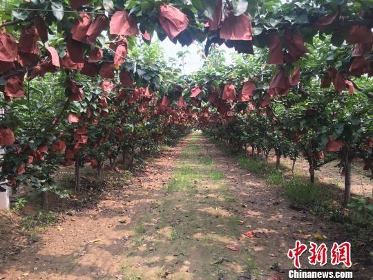 图为赵新忠承包的梨园。 高红超 摄