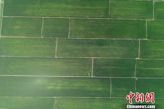 俯瞰河北省涿州市百尺竿镇万亩稻田。 于俊亮 摄