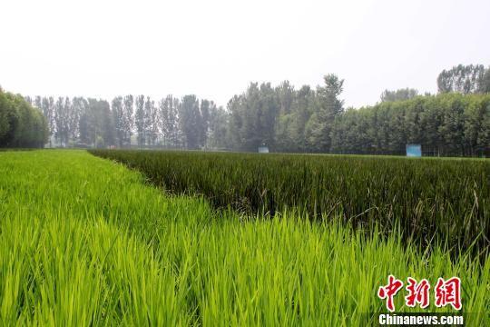 """稻田间的紫水稻和普通水稻""""泾渭分明""""。 于俊亮 摄"""