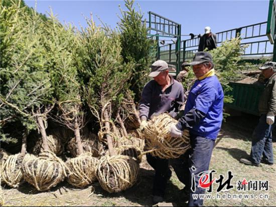 图为崇礼太子城秋季植树造林现场正在搬运树苗。记者高振发摄