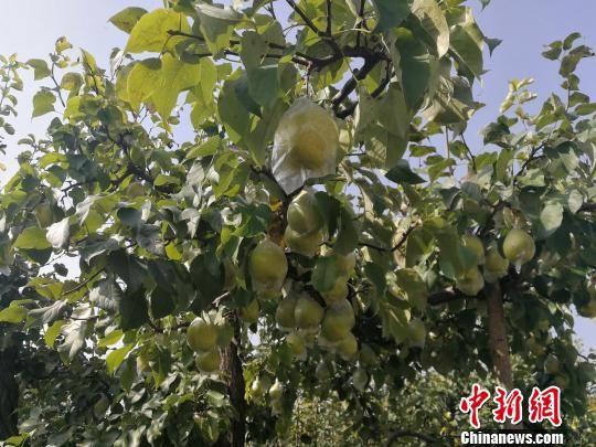 阜城县霞口镇刘老人村的百年梨树硕果累累。 王鹏 摄
