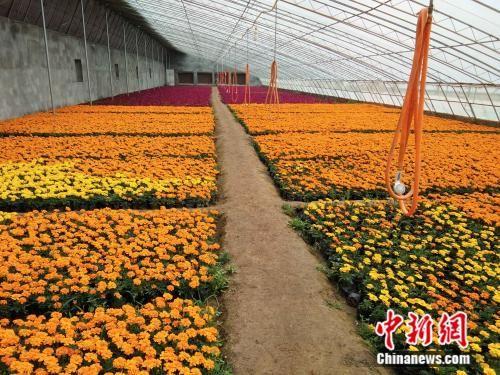 平山县黄连沟村花卉种植产业。李胜才 摄