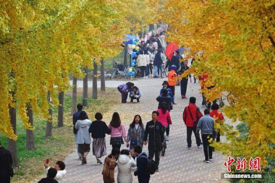 """11月3日,在河北经贸大学,金黄色的银杏树装点着校园,让参观者仿佛置身""""童话世界"""",大家在这温暖的颜色下,嬉戏、赏景,留下美丽的瞬间。图为绽放的银杏美景一角。中新社记者 翟羽佳 摄"""