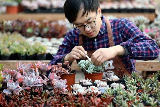 1月10日,刘振健在大棚里管理自己培育的多肉植物。