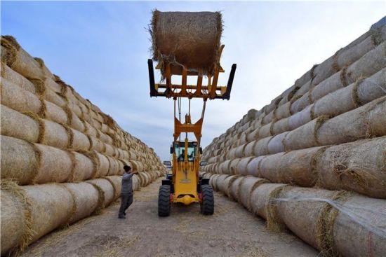 1月10日,唐山海港经济开发区王滩镇秸秆加工企业的工人使用机械设备堆放回收的秸秆。