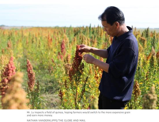 卢文震说服村民种植藜麦,以增加收入。图片来源:《环球邮报》网站报道截图
