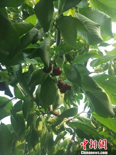 赞皇县福源樱桃专业合作社现代生态农业采摘园里樱桃成熟。受访者供图