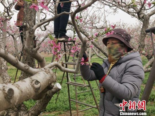 图为果农正在为桃树授粉。 张帆 摄