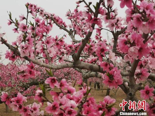 河北省深州市蜜桃观光园万亩桃花盛开。 张帆 摄