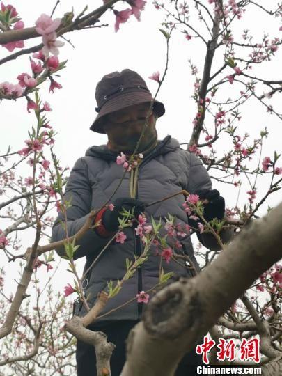 在当地,为桃树授粉一天的工资就有200元。 张帆 摄