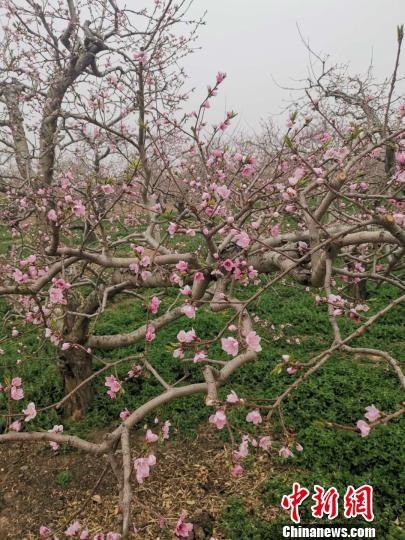 目前,深州市果树种植面积达50万亩, 张帆 摄