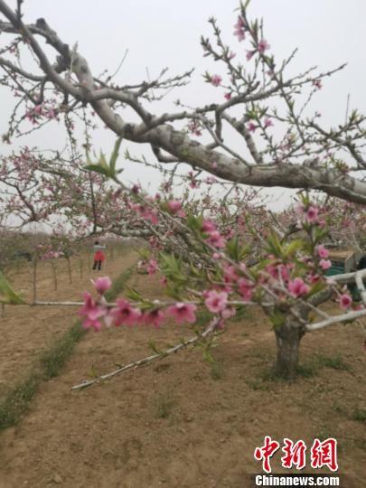 图为游客在桃花从中拍照。 张帆 摄