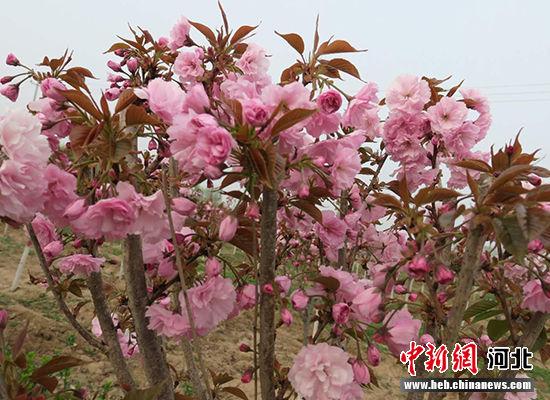 绽放的樱花。 王鹏 摄