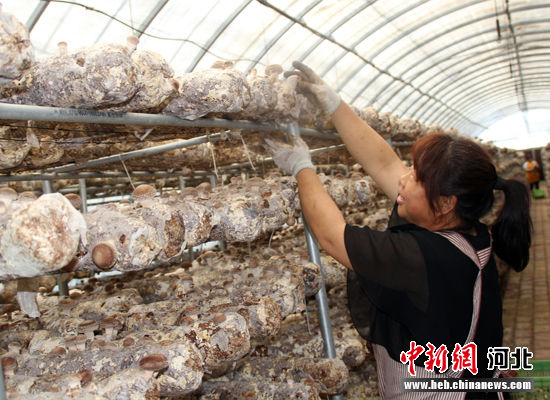 村民在大棚里采摘香菇。 徐巧明 摄