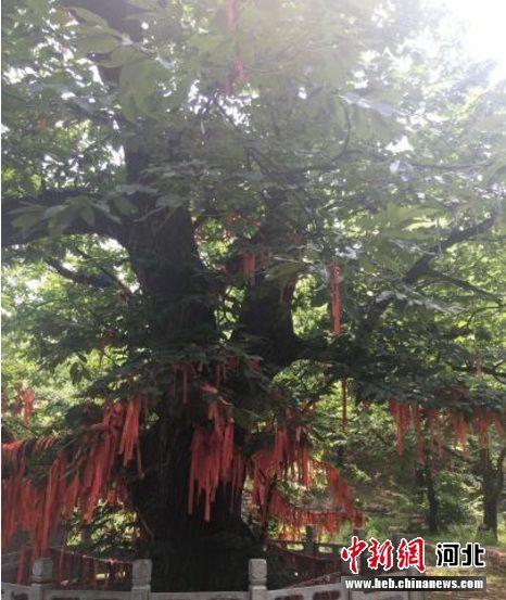 """被本地人称为""""板栗王""""的板栗树。 张鹏翔 摄"""