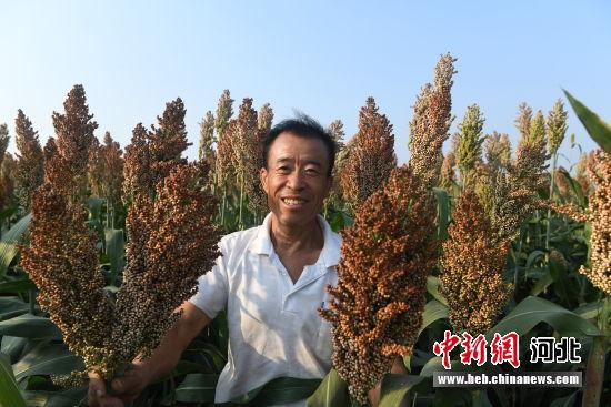 种植户展示成熟的红高粱。 供图