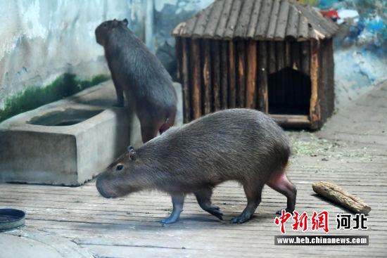 """石家庄动物园里五鼠闹新春 欢乐只""""鼠""""于你――中国新闻网河北"""