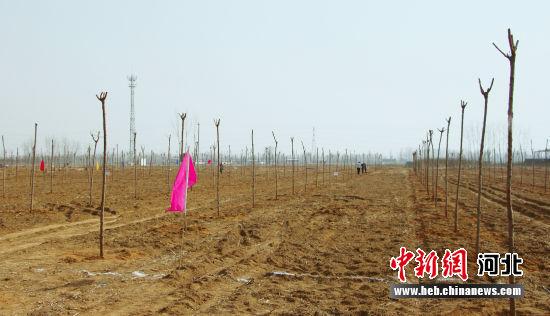 涞水县栽植的栾树、国槐树。 徐隆达 摄