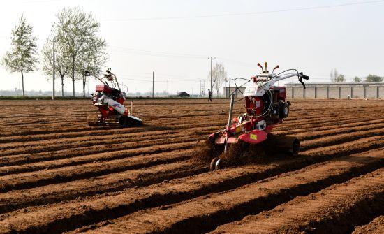 栾城特色生姜种植富农增收。 供图