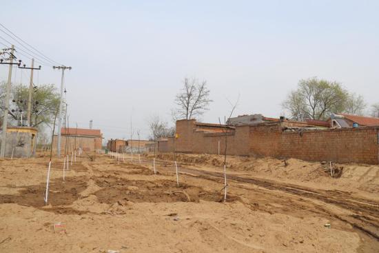 趙家村村支書趙華峰自動將自家的楊樹挪走,讓村西公路由曲變直,暢通了村內交通。 供圖