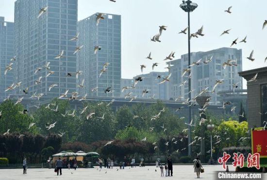 图为4月30日,石家庄一广场上的市民与鸽群。中新社记者 翟羽佳 摄
