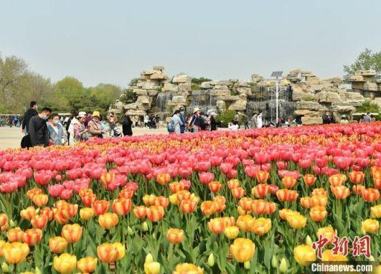 图为4月6日,石家庄市民户外赏郁金香。 中新社记者 翟羽佳 摄
