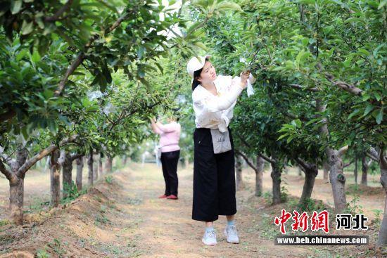 果农在平乡县窦冯马村富硒苹果园进行套袋作业。 姚友谅 摄