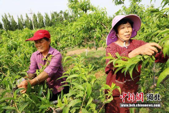 果农在平乡县田付村乡千亩蜜桃种植基地进行疏果作业。 姚友谅 摄