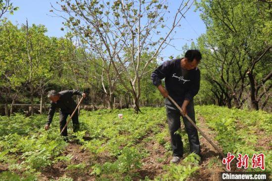 图为河北村民在林下种植野菜 郭颖晖 摄