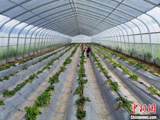 图为尚义县草莓种苗繁育基地大棚内工人正在忙碌。 李洋 摄
