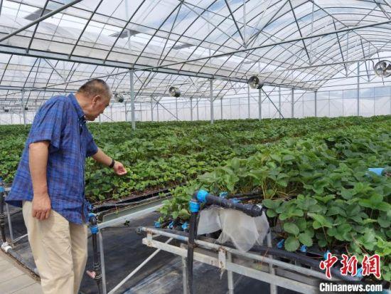 图为李伟斌正在草莓连栋高架育苗棚内忙碌。 李洋 摄