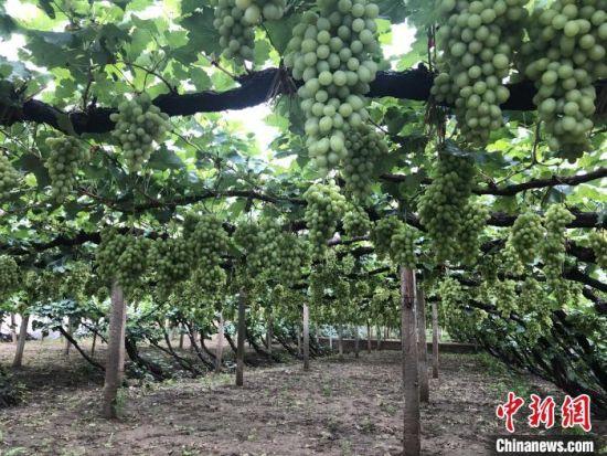 怀来县12万亩葡萄成熟在即。 郝烨 摄