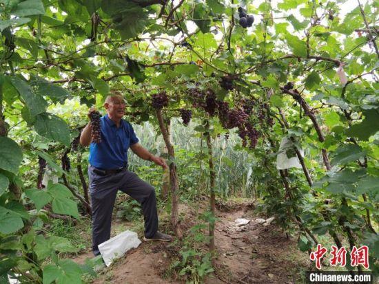 图为周佃阳老人查看葡萄长势。 李洋 摄