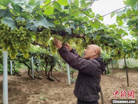 图为葡萄种植户郝忠元正在修剪葡萄。 李洋 摄