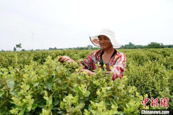 巨鹿县堤村乡纪家寨村的农户在采摘富硒金银花。 胡良川 摄