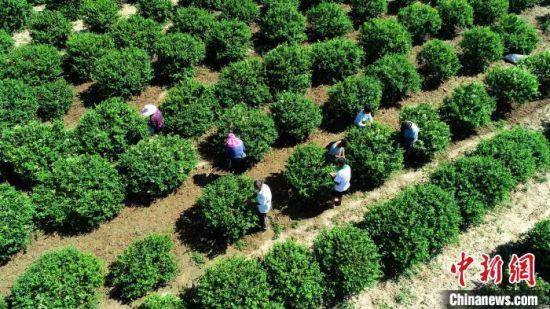 河北巨鹿县富硒农产品种植已形成规模,富硒金银花正在进行采摘。 胡良川 摄