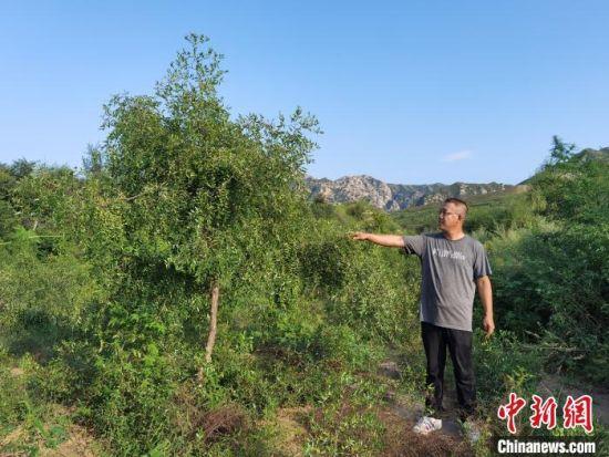 图为王全明与他的酸枣树。 李洋 摄