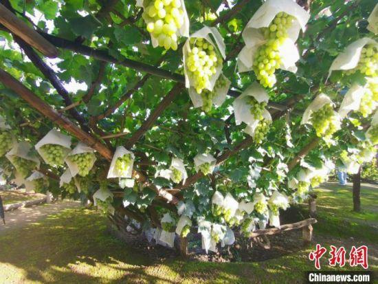 图为漏斗架下的宣化马奶葡萄。 张帆 摄