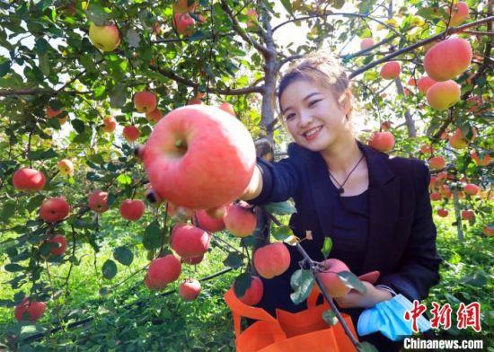游客在苹果产业园内采摘苹果。 宿雅男 摄