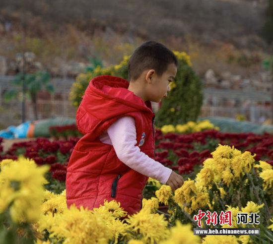 小朋友观菊。 李红叶 摄