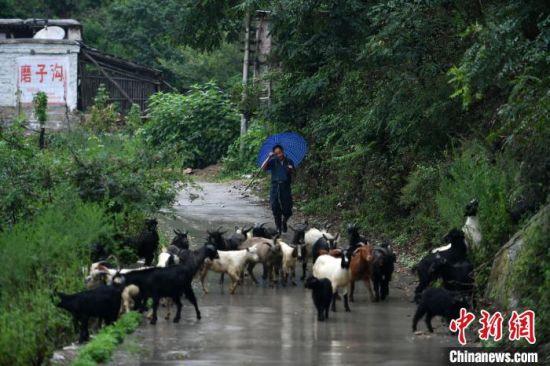 图为磨子沟村发展养殖业,一村民正在放羊(资料图)。 翟羽佳 摄