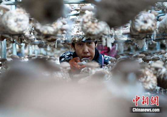 图为11月19日,当地村民正在菌园区大棚内忙碌。中新社记者 翟羽佳 摄