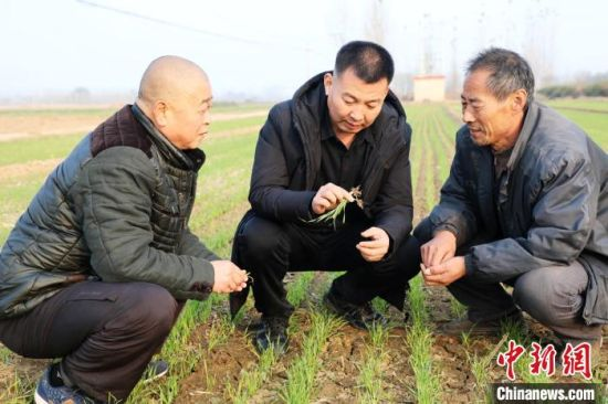 平乡县科协农技人员在寻召乡赵流渠村指导农民小麦冬管。 姚友谅 摄
