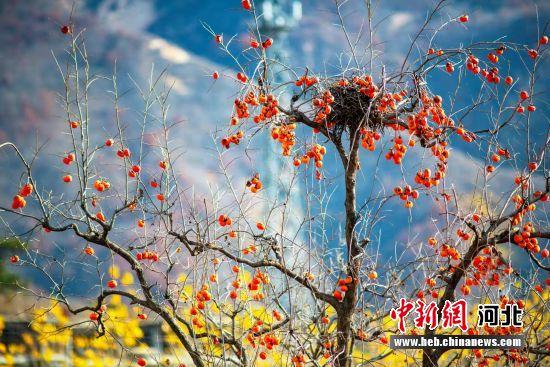 柿子挂满枝头。 曹金龙 摄
