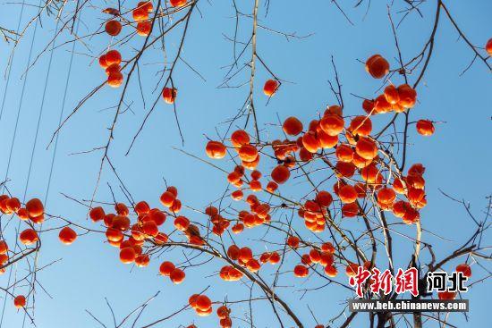 红彤彤的柿子冬天增加了一抹暖意。 焦俊国 摄